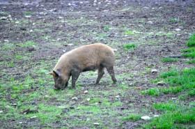 A grazing pig