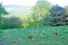 Free chickens