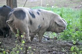 A mature sow