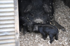 Piglets with mom
