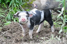 A cute young pig